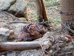 コロラドで出会ったバンビ