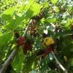 木になる桑の実